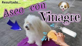 Download 🐶💦Aseo con VINAGRE: PERRO SIN OLOR y SIN MANCHAS, coton de Tulear I Lorentix Video
