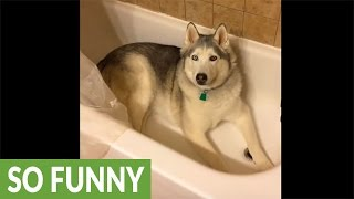 Download Stubborn Husky gets his wish after throwing temper tantrum Video