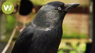 Download Ravens and crows - the most intelligent birds in the world (animal documentary in HD) Video