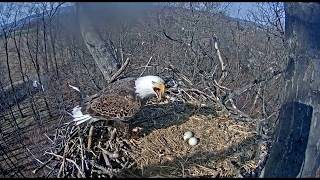 Download Attacks at the Nest! - Hanover Eagles Nest - March 19, 2018 Video