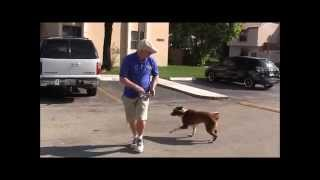 Download How to teach your dog to walk nicely on a leash in just 1 class! Video