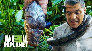Download ¡Frank forcejea con una Pitón Reticular! | Wild Frank: En busca del dragón | Animal Planet Video