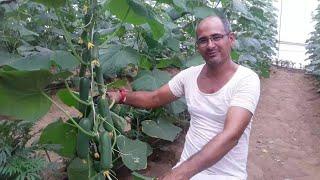 Download किसान खेमाराम ने अपने गांव को बना दिया मिनी इजरायल , सालाना 1 करोड़ का टर्नओवर Video