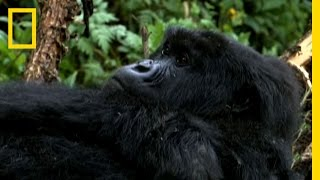 Download Saving the Mountain Gorillas | National Geographic Video