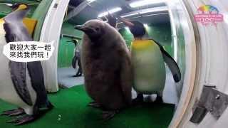 Download 企鵝搖擺回舊家過年–重開展邀您一起「爆走」 Penguins Back To Their Enclosures Video