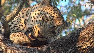 Download Warthog Provides A Leopard With Meals For A Few Days Video