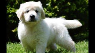 Download English Cream Golden Retriever Puppies Video