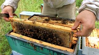 Download Harvesting 109 POUNDS of RAW HONEY! Video