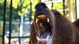 Download Can These Domesticated Grizzlies Survive in the Wild? Video