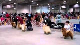 Download ″Chow Chow Marco In The Show Ring″ Video