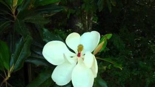 Download Magnolia Blossom Time Lapse Video