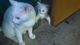 Download White cat with kittens walking on the third floor Video