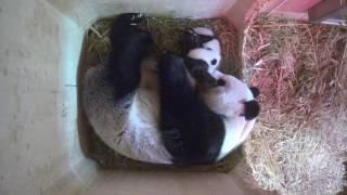 Download Panda Twins Day 64 Video