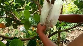 Download Cách chiết cây mít kích cành tại nhà Video
