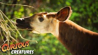 Download Okapi   Curious Creatures Video