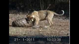Download Lions try to chew on an armour-plated Pangolin - India Video