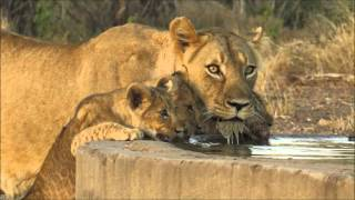 Download New lion cubs in the pride Video