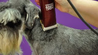 Download Grooming Guide - Clipped Miniature Schnauzer Pet Trim - Pro Groomer Video