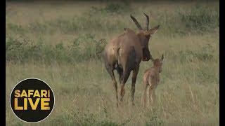 Download safariLIVE - Sunset Safari - September 5, 2018 Video