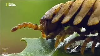 Download Хрустящие насекомые. Дикое меню животных #2 (Документальные фильмы National Geographic) Video