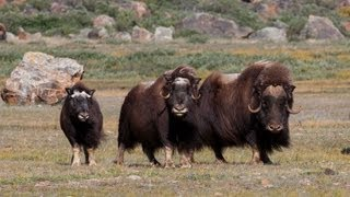 Download Wild Greenland - home of musk oxen and arctic char Video