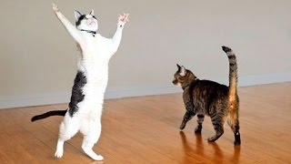 Download Cats are the kings of animal comedy - Funny cat compilation Video