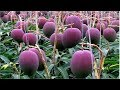 Download World's Most Expensive Mango - Awesome Japan Agriculture Technology Farm Video