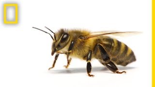 Download How Do Honeybees Get Their Jobs? | National Geographic Video