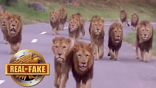Download BIGGEST GROUP OF MALE LIONS EVER RECORDED - real or fake? Video