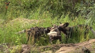 Download Incredible Sight As African Painted Dogs Catch A Bushbuck!!! Video