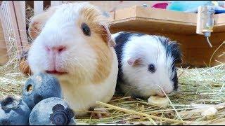 Download Guinea Pig Safe Fruits Video