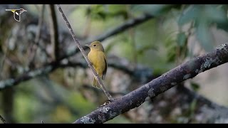Download Bird Research and Shade-Grown Coffee Video
