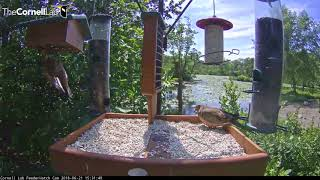 Download Juvenile Starlings Battle It Out at the Feeders – June 21, 2018 Video