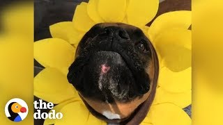Download 4 Reasons Why Boxer Dogs Are the Weirdest (But the Cutest) | The Dodo Video