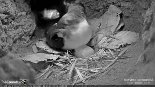 Download Nest Check Reveals Female Cahow is Back in the Burrow – Feb. 20, 2017 Video