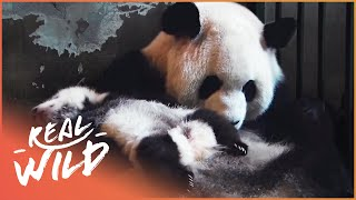 Download Land Of The Pandas [Panda Documentary]   Real Wild Video