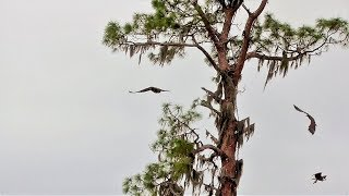 Download SWFL Eagles E's Follow M In Circles For Fish & Mastering Carry/Eat Prey On Branch 03-31-18 Video