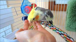 Download How to tame your Pet Bird Video