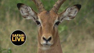 Download safariLIVE - Sunrise Safari - April 17, 2019 Video