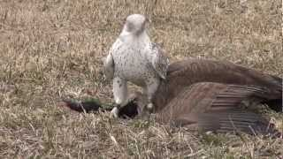 Download Gyrfalcon female takes Canada goose Video