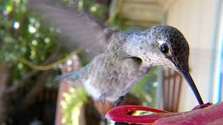 Download GoPro Awards: Hummingbirds with Macro Lens Video