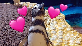 Download A Day in The Life of a Penguin | Shedd Aquarium Video