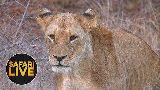 Download safariLIVE - Sunset Safari - August 28, 2018 Video