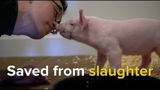 Download Rescuing Animals Moments From Slaughter Video