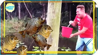 Download feeding piranhas live compilation 2017 -piranhas fishing Video