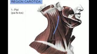 Download REGION CAROTÍDEA Video