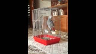 Download ببغاء كاسكو يتكلم كوردي Video