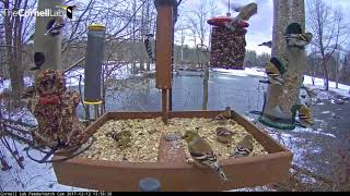 Download American Goldfinch Party On The Cornell FeederWatch Cam – Dec. 12, 2017 Video