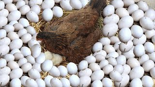 Download Hen Harvesting Eggs To New ″BORN″ Chicks; Smallest Bird Chick? (Fish Cutting) Video