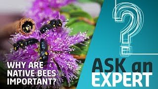 Download Why Are Native Bees So Important? | Ask an Expert Video